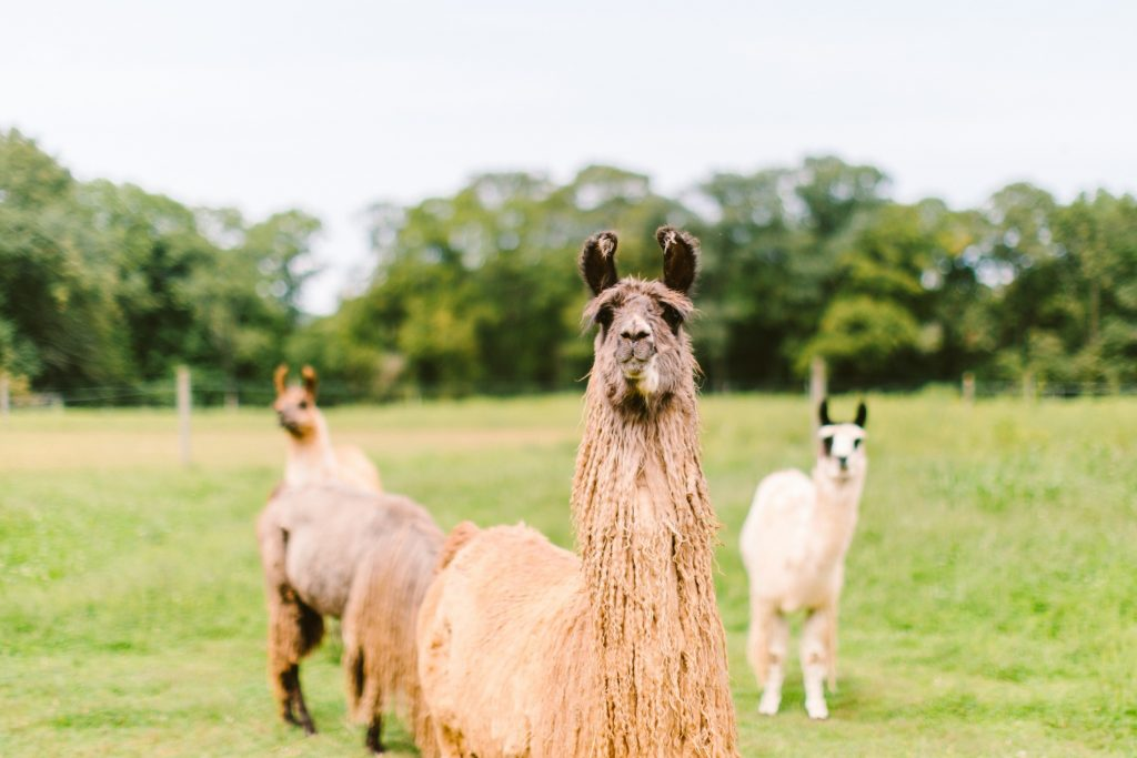 Llama Wedding The Neon Tea Party